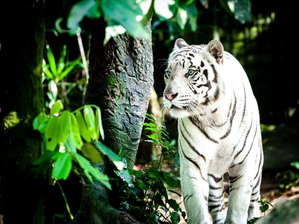 tiger, white tiger, wildcat, Things to do in Singapore| The Ultimate Guide
